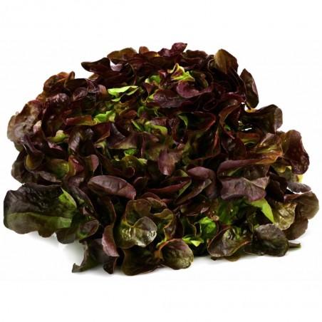 salade feuille de chene rouge pièce